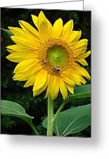 Blooming Sunflower Closeup Greeting Card