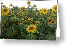 Blooming Sunflowers Greeting Card