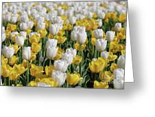 Blooming Tulips As Far As The Eye Can See Greeting Card