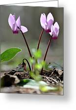 Blossom Of Cyclamens Greeting Card