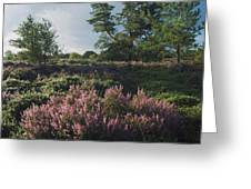 Blossoming Jutlandic Heath  Greeting Card