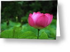 Blossoming Lotus Flower Closeuop Greeting Card