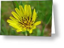 Blossoming Yellow Goatsbeard Greeting Card
