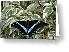 Blue-banded Swallowtail Butterfly Greeting Card