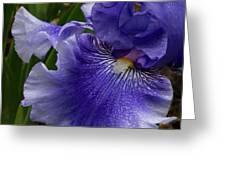 Blue Bearded Iris Greeting Card