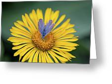 Blue Butterfly On Alpine Sunflower Greeting Card