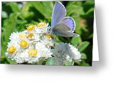 Blue Butterfly On White Flowers Greeting Card