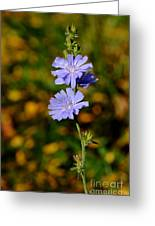 Blue Chicory 2 Greeting Card