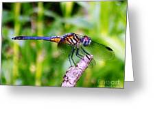 Male Blue Dasher 1 Greeting Card