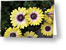 Blue Eyed Beauty African Daisy Greeting Card