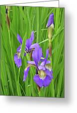 Blue Flag Iris-1  Greeting Card