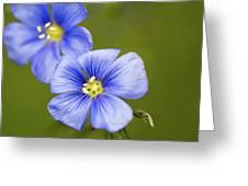 Blue Flax #2 Greeting Card