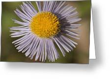 Blue Fleabane Greeting Card