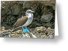 Blue Footed Boobie Greeting Card