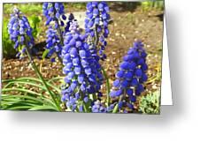 Blue Grape Hyacinth Greeting Card