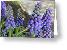 Blue Grape Hyacinths Greeting Card
