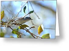 Blue Grey Gnatcatcher Greeting Card