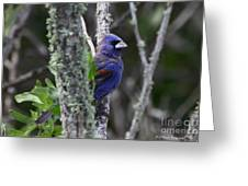 Blue Grosbeak In A Mangrove Greeting Card