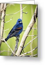 Blue Grosbeak Greeting Card