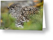 Blue Grouse Hen 1 Greeting Card