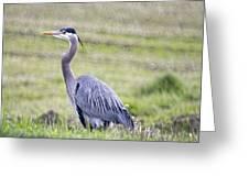 Blue Heron In Northern Wa  Greeting Card