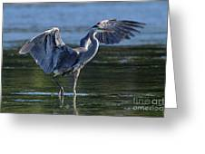 Blue Heron Show-off Greeting Card
