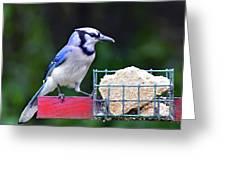 Blue Jay - Cyanocitta Cristata  Greeting Card