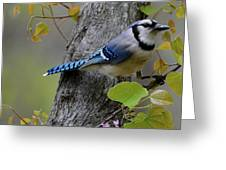 Blue Jay In Red Bud Greeting Card