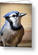 Blue Jay Portrait Greeting Card