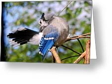 Blue Jay Preening Greeting Card