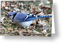 Blue Jay With A Full Mouth Greeting Card