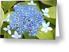 Blue Lacecap Hydrangeas Greeting Card