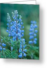 Blue Lupine In The Tetons  Greeting Card