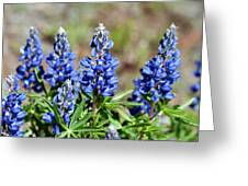 Blue Lupines Greeting Card