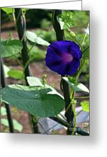 Blue Morning Glory Vine Greeting Card