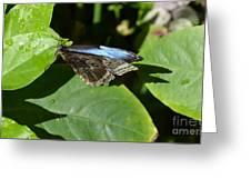 Blue Morpho Among The Leaves Greeting Card