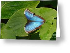 Blue Morpho Butterfly II Greeting Card