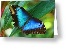 Blue Morpho Butterfly Greeting Card