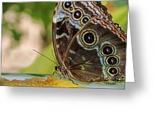 Blue Morpho Butterfly Morpho Peleides  Greeting Card