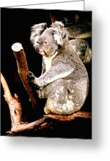 Blue Mountains Koala Greeting Card by Darren Stein