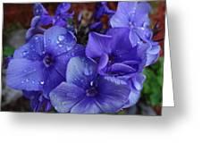 Blue Paradise Phlox Greeting Card