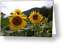 Blue Ridge Sunflowers  Greeting Card