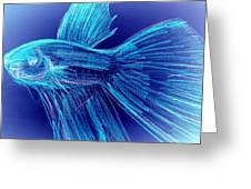 Blue Siamese Fighting Fish Greeting Card