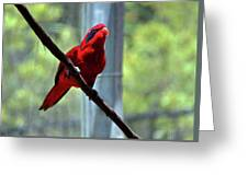 Blue-streaked Lory Greeting Card