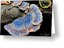 Blue Turkeytail Fungi Greeting Card by Joshua Bales
