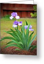 Blue Violet Irises  Greeting Card