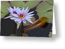 Blue Water Lilies Of Belize Greeting Card