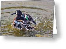 Blue Winged Teal 5 Greeting Card