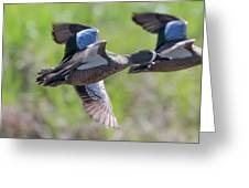 Blue-winged Teal In Flight 3 Greeting Card