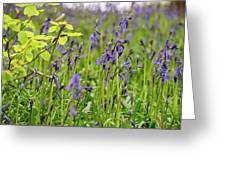 Bluebells In Judy Woods Greeting Card